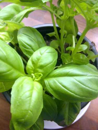 Basilikumpflanze