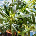 Estragon-Ingwer-Zitronen-Sirup